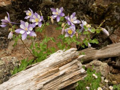 Colorado Columbines Blooming in Early July at 10,000 Feet by Michael S. Lewis