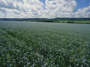 Flax Field, Saskatchewan, Canada by Michael S. Lewis