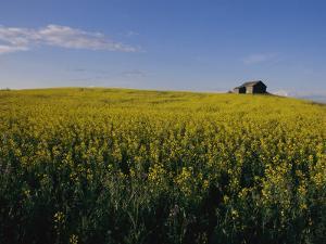 Flax Fields Across the Saskatchewan Plain by Michael S. Lewis