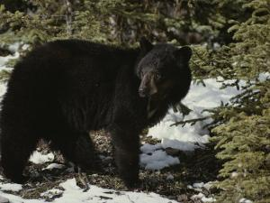 A Black Bear Takes a Look Around by Michael S. Quinton