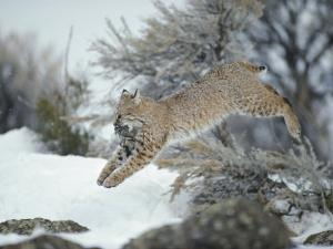 A Bobcat Leaps with a Horned Lark in its Mouth by Michael S. Quinton