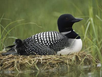 A Common Loon Sits on Her Marshy Nest by Michael S. Quinton