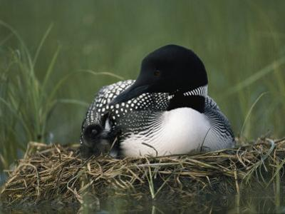 A Common Loon Sits with a Chick on Her Marshy Nest by Michael S. Quinton