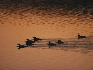 A Group of Common Loons Swims Across a Lake Early in the Morning by Michael S. Quinton