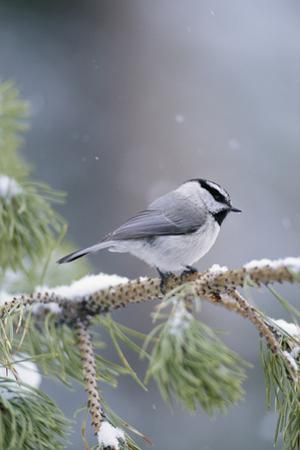 A Mountain Chickadee (Parus Gambeli) Weathers a Winter Snow in a Pinetree by Michael S. Quinton