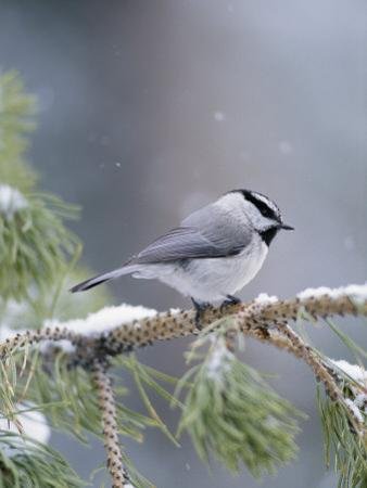 A Mountain Chickadee Weathers a Winter Snowstorm in a Pinetree by Michael S. Quinton