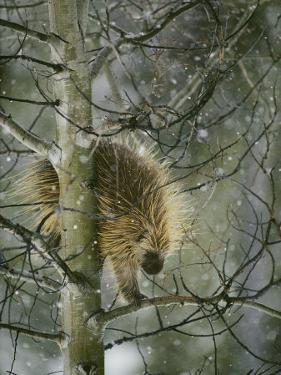 A North American Porcupine Climbs Down a Tree in the Snow by Michael S. Quinton