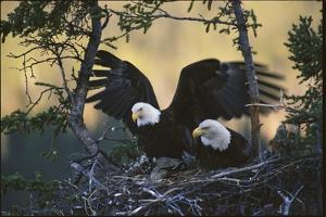 A Pair of Northern American Bald Eagles in their Treetop Nest by Michael S. Quinton