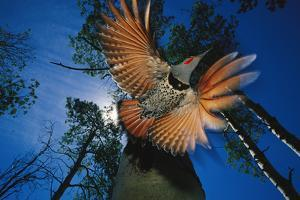 A Red Shafted Northern Flicker in Flight Seen from Below by Michael S. Quinton