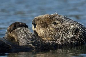 A Sea Otter, Enhydra Lutris, on it Back in the Water by Michael S. Quinton