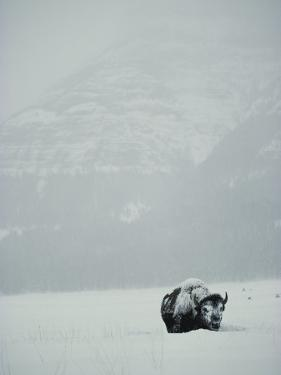 A Snow-Covered American Bison Stands on a Snowy Plain by Michael S. Quinton
