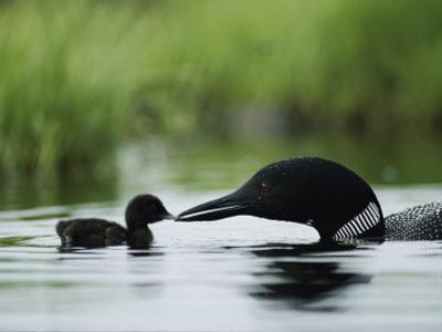 A Tiny Loon Chick Being Fed by its Parent by Michael S. Quinton