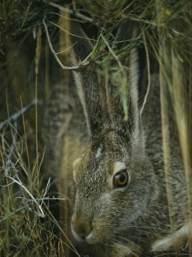 A White-Tailed Jackrabbit Hides in the Grass by Michael S. Quinton