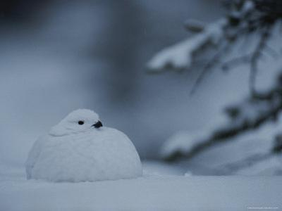 A Willow Ptarmigan Sits in Snow in Alaska by Michael S. Quinton