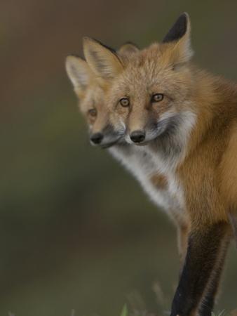 Adult Red Fox (Vulpes Vulpes) in Alaska by Michael S. Quinton