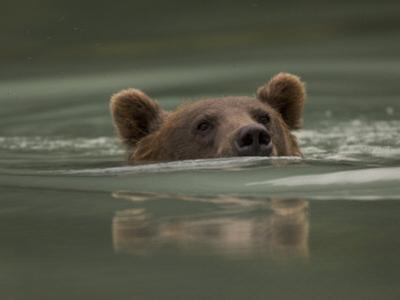 Alaskan Brown Bear Swims across River by Michael S. Quinton