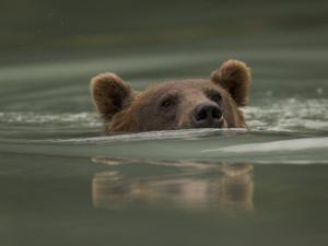 Alaskan Brown Bear Swims across River by Michael S. Quinton