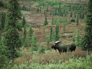 An Alaskan Moose Forages in a Field by Michael S. Quinton