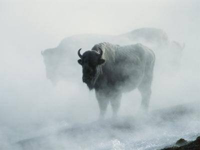 An American Bison Bull Stands in the Steam from a Geyser to Keep Warm by Michael S. Quinton