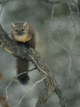 An American Marten in a Tree During a Light Snowfall by Michael S. Quinton