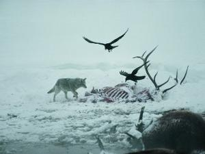 An Elk Carcass Becomes a Snowy Buffet for a Coyote and Two Ravens by Michael S. Quinton