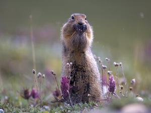 Arctic Ground Squirrel Watches for Danger as it Feeds on Seeds, Denali National Park, Alaska by Michael S. Quinton