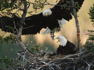 Bald Eagle (Haliaeetus Leucocephalus) Returning to Nest with Food for Chicks, Alaska by Michael S. Quinton