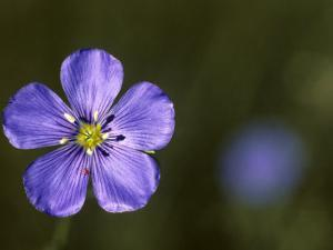 Blue Flax and a Tiny Red Mite by Michael S. Quinton