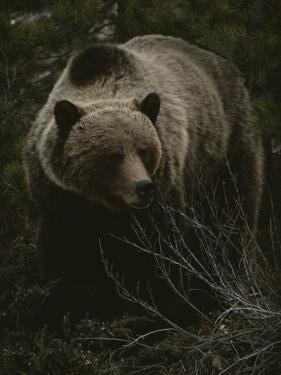 Close Frontal View of a Huge Grizzly (Ursus Arctos Horribilis) in a Pine Wood by Michael S. Quinton