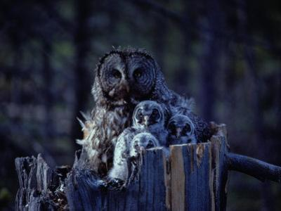 Close View of a Great Gray Owl Sheltering Her Owlets by Michael S.Quinton