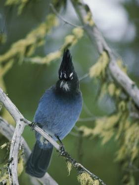 Close View of a Stellers Jay Sitting on a Branch by Michael S. Quinton