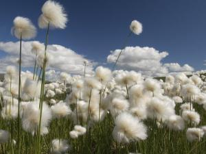 Cotton Grass Seed Heads Whip in the Wind, Paxon Alaska by Michael S. Quinton