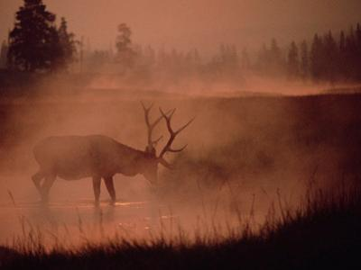 Elk or Wapiti (Cervus Elaphus) Feeding at Streamside with Smoke, Yellowstone, Wyoming by Michael S. Quinton