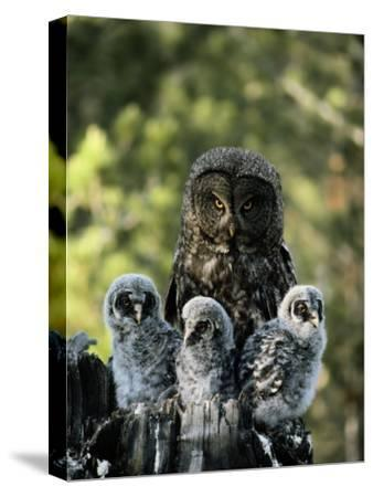 Female Great Gray Owl and Her Three Babies by Michael S. Quinton