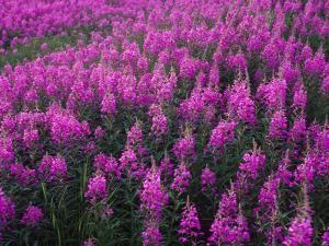 Fireweed Grows Atop the Burried Alaska Pipeline by Michael S. Quinton