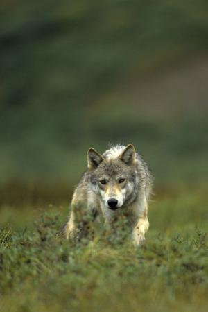 Gray Wolf in Alaska by Michael S. Quinton