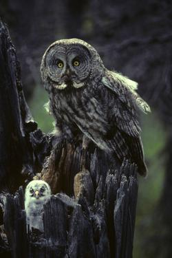 Great Gray Owls on Nest in Idaho by Michael S. Quinton