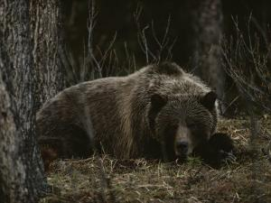 Grizzly Bear (Ursus Arctos Horribilis) Lying Down in the Woods by Michael S. Quinton