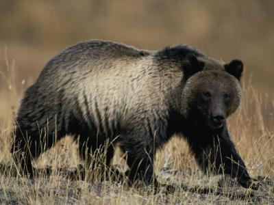 Grizzly Bear by Michael S. Quinton