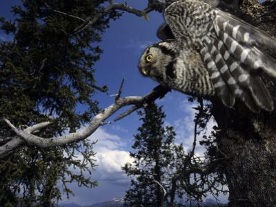 Hawk Owl Flies from its Nest in a Cavity in a White Spruce, Alaska by Michael S. Quinton