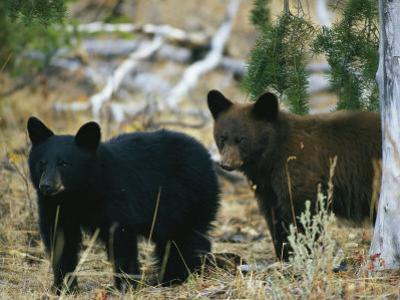 Juvenile American Black Bears by Michael S. Quinton