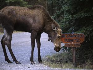 Moose Says No to Tourism by Michael S. Quinton
