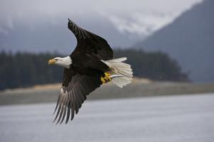 Portrait of a Bald Eagle, Haliaeetus Leucocephalus, Flying with a Herring in its Talons by Michael S. Quinton