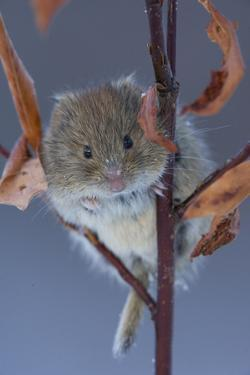 Portrait of a Northern Red-Backed Vole, Myodes Rutilus, Climbing on a Tree Branch by Michael S. Quinton