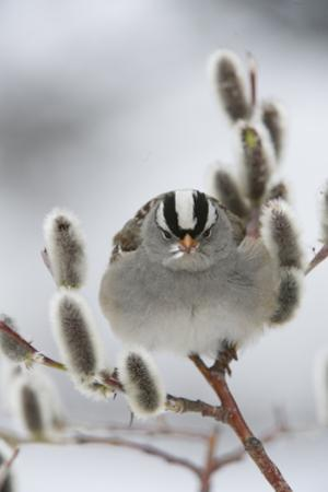 Portrait of a White-Crowned Sparrow, Zonotrichia Leucophrys, Perched in a Pussy Willow by Michael S. Quinton