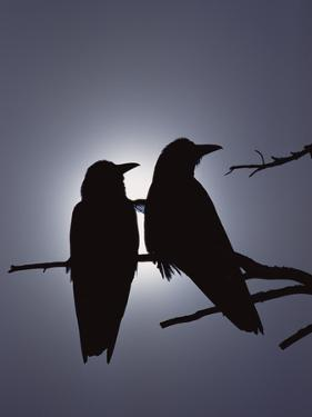 Raven (Corvus Corax) Pair Perching on a Branch, Backlit by Filtered Sunlight by Michael S. Quinton