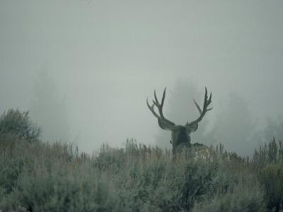 Rear View of a Mule Deer Buck with Impressive Antlers by Michael S. Quinton