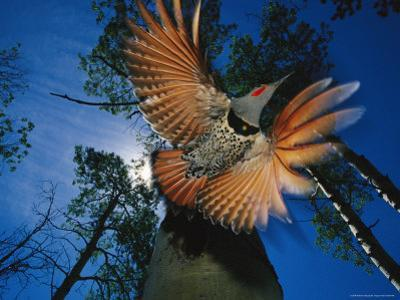 Red Shafted Northern Flicker in Flight Seen from Below by Michael S. Quinton