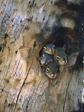 Red Squirrel (Tamiasciurus Hudsonicus) Four Young at Entrance to Nest in a Tree, Alaska by Michael S. Quinton