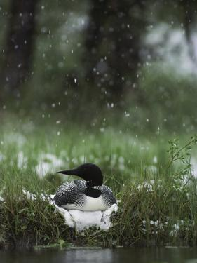 Snow Falls on a Loon Incubating its Nest by Michael S. Quinton